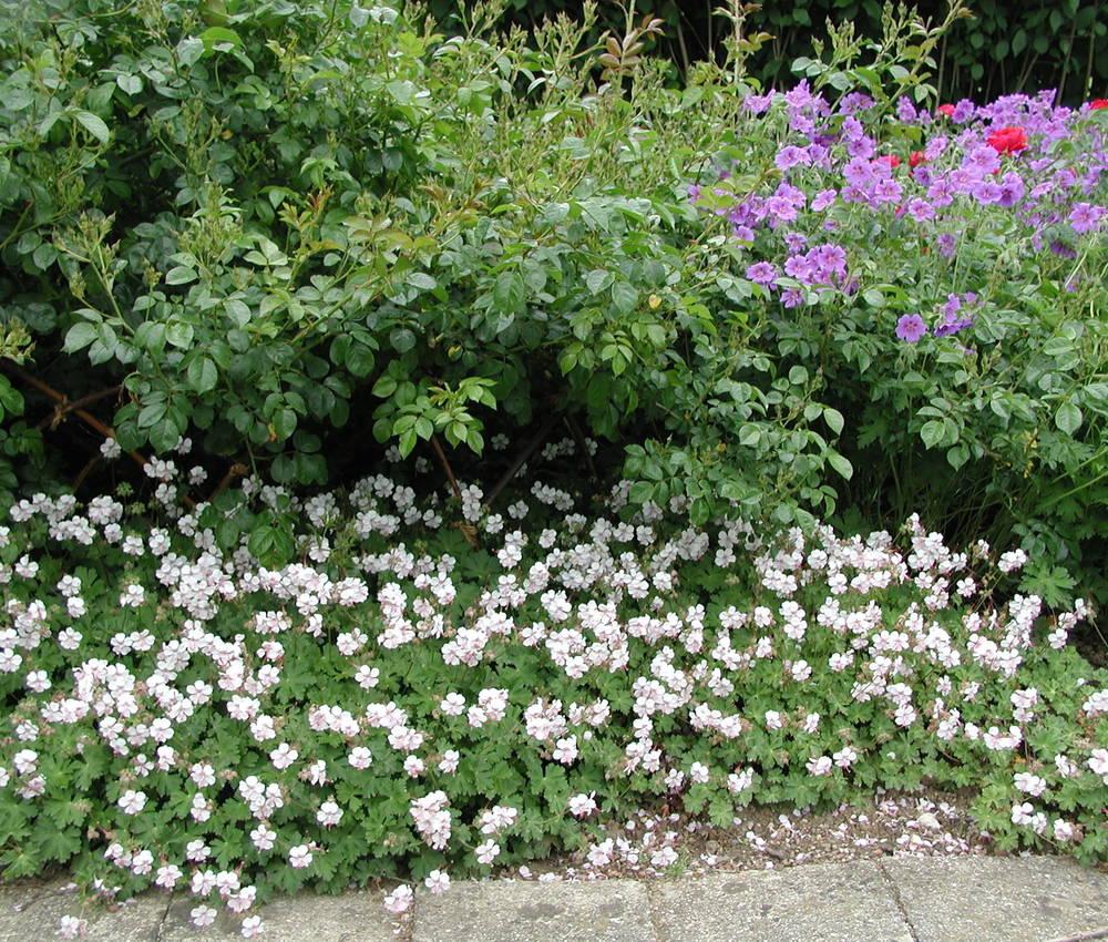 Wintergrüner Storchschnabel Geranium x cantabrigiense   Biokovo