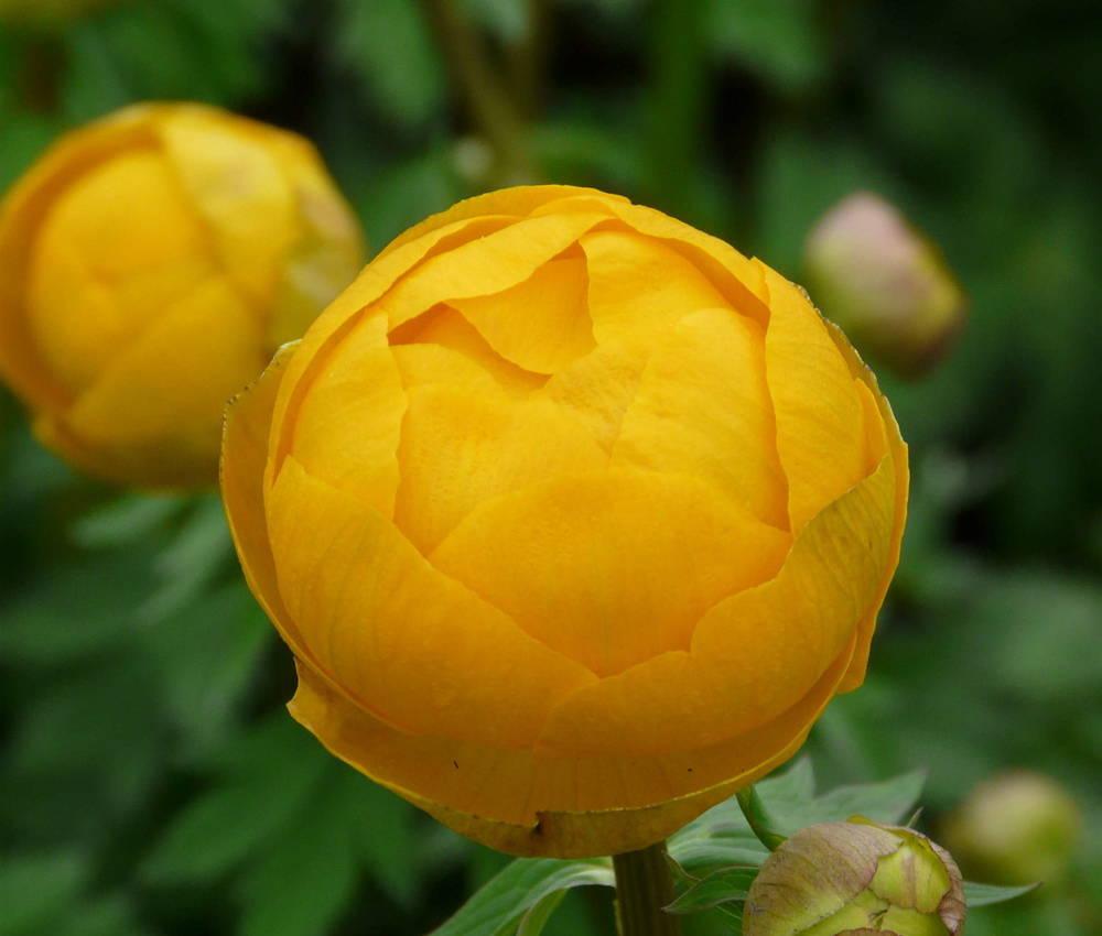 Trollblume Orange Globe Trollius cultorum