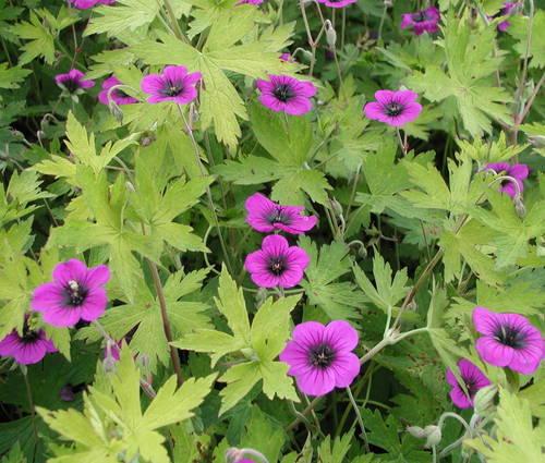 Produktbild Geranium Psilostemon-Hybride 'Ann Folkard'