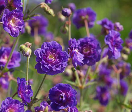 Produktbild Geranium pratense 'Plenum Violaceum'