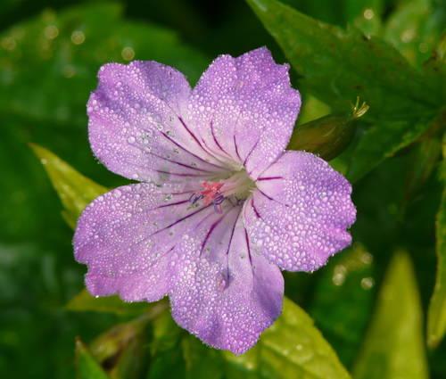 Produktbild Geranium nodosum 'Simon'