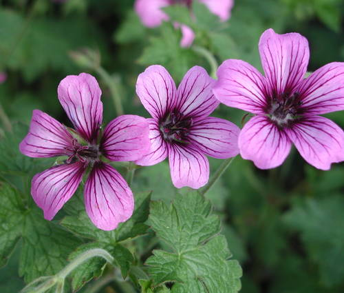 Produktbild Geranium Hybride 'Sue Crug'