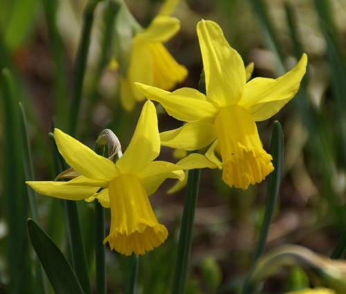 Produktbild Narcissus 'February Gold'