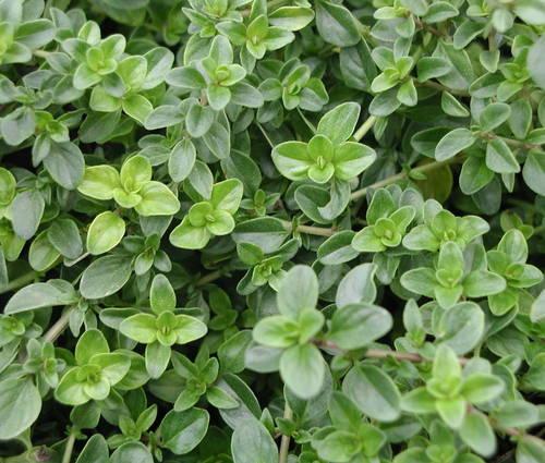 Produktbild Thymus vulgaris 'Fleur Provencale'