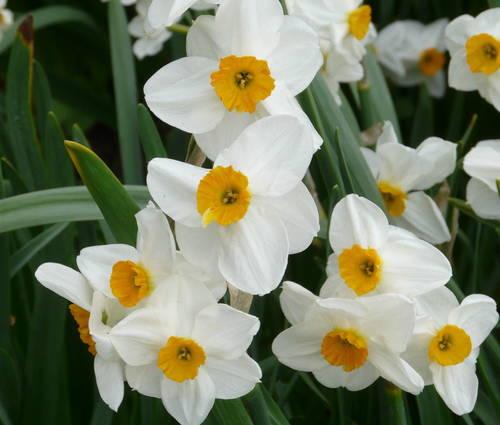 Produktbild Narcissus 'Laurens Koster'