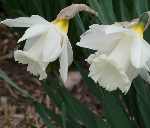 Produktbild Narcissus 'Mount Hood'