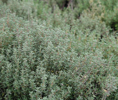 Produktbild Thymus vulgaris