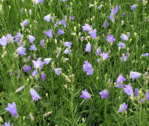 Produktbild Campanula rotundifolia