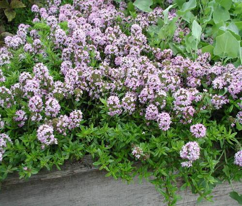 Produktbild Thymus longicaulis ssp. odoratus