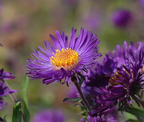 Produktbild Aster novae-angliae 'Violetta'