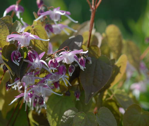 Produktbild Epimedium grandiflorum 'Chris Norton'