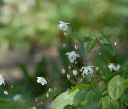 Produktbild Epimedium diphyllum