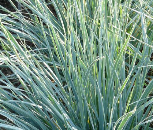 Produktbild Elymus magellanicus