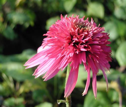Produktbild Echinacea purpurea 'Razzmatazz' ®