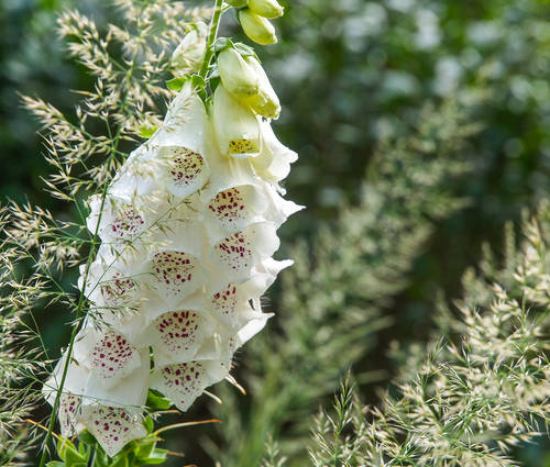 Produktbild Digitalis purpurea 'Alba'
