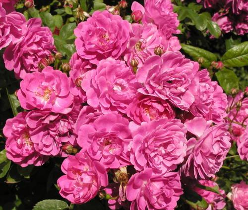 Produktbild Rosa 'Taunusblümchen'