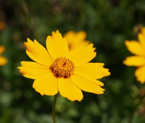 Produktbild Coreopsis grandiflora 'Christchurch'