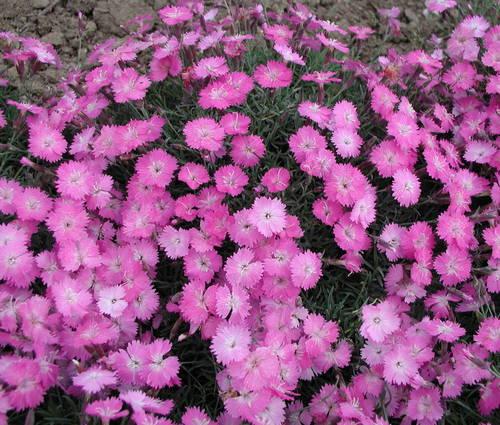 Produktbild Dianthus gratianopolitanus 'La Bourboule'
