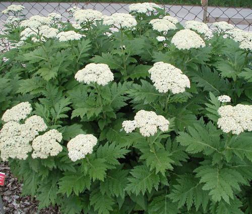 Produktbild Tanacetum macrophyllum