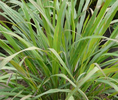 Produktbild Cymbopogon flexuosus