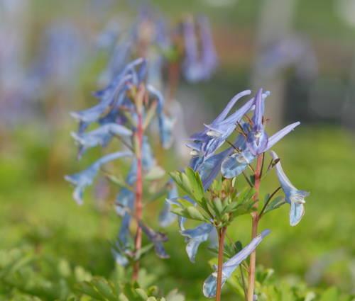 Produktbild Corydalis Hybride (elata x flexuosa) 'Spinners'