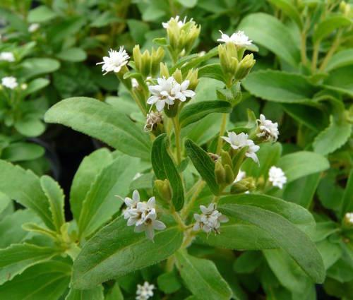 Produktbild Stevia rebaudiana