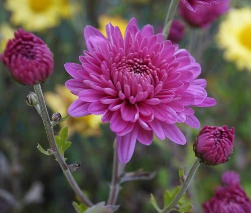 Produktbild Chrysanthemum Indicum-Hybride 'Schweizerland'