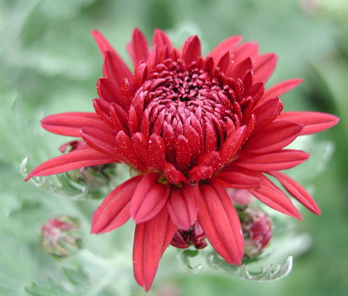 Produktbild Chrysanthemum Indicum-Hybride 'Herbstrubin'
