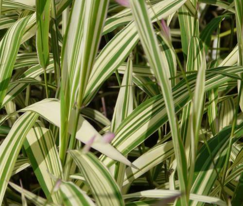 Produktbild Chasmanthium latifolium 'River Mist' ®