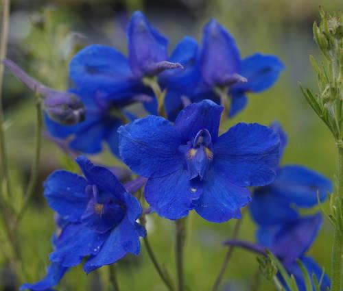 Produktbild Delphinium grandiflorum 'Blauer Zwerg'