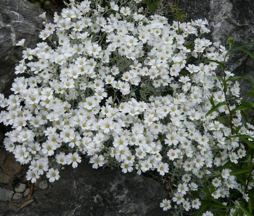 Produktbild Cerastium tomentosum 'Silberteppich'