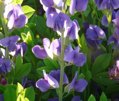 Produktbild Baptisia Hybride 'Purple Smoke'