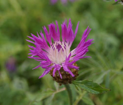 Produktbild Centaurea dealbata