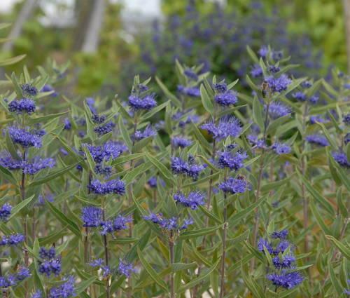 Produktbild Caryopteris x clandonensis 'Kew Blue'