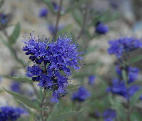 Produktbild Caryopteris x clandonensis 'Blauer Spatz' ®