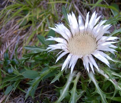 Produktbild Carlina acaulis ssp. simplex