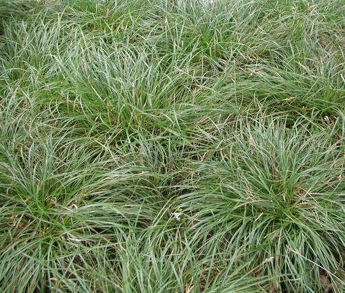 Produktbild Carex umbrosa