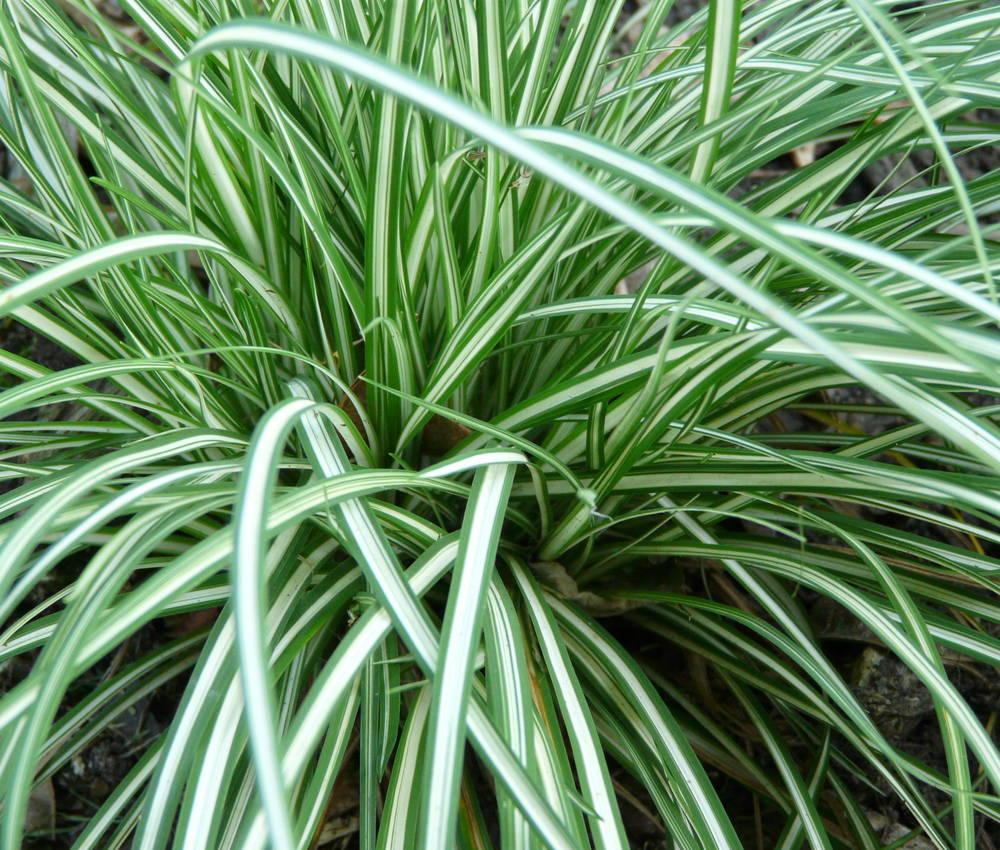 Weißgestreifte Vogelfuß Segge Carex Variegata im Topf