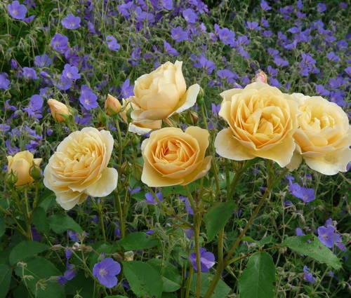 Produktbild Rosen und Stauden im Bauerngarten