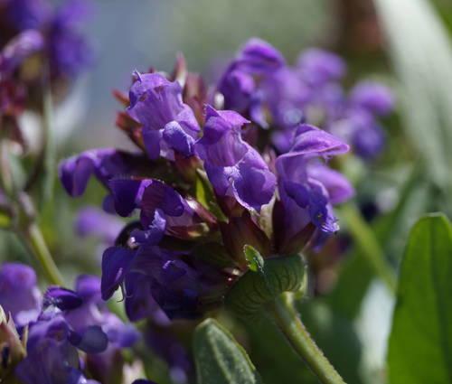 Produktbild Prunella grandiflora