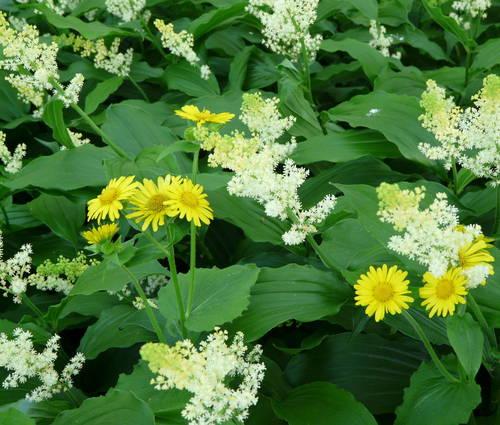 Produktbild Smilacina racemosa