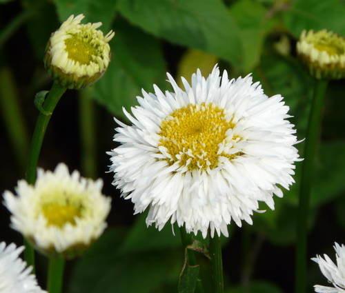 Produktbild Leucanthemum Maximum-Hybride 'Snehurka'