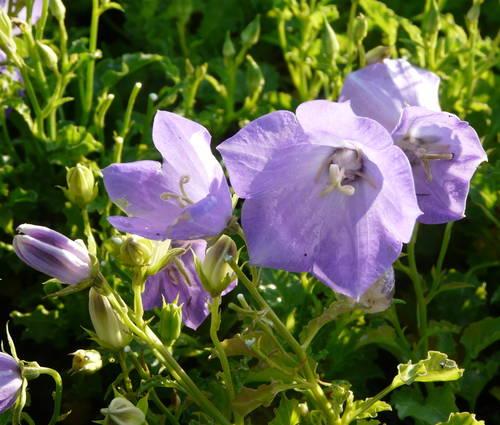 Produktbild Campanula carpatica 'Blaue Clips'