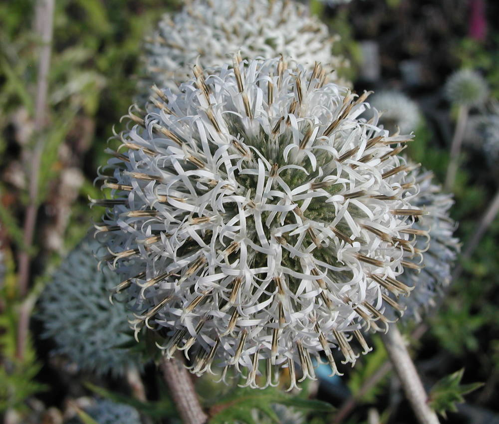 Echinops sphaerocephalus Bienen-Kugeldistel Pflanze im 9cm-Topf
