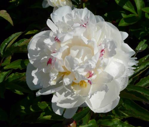Produktbild Paeonia lactiflora 'Gardenia'