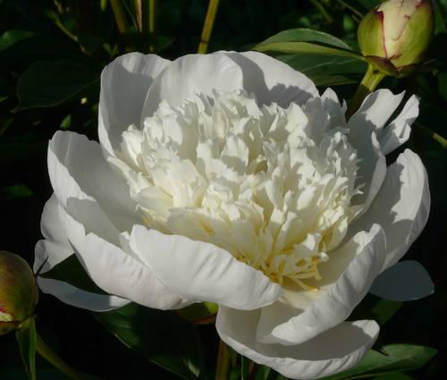 Produktbild Paeonia lactiflora 'Immaculée'