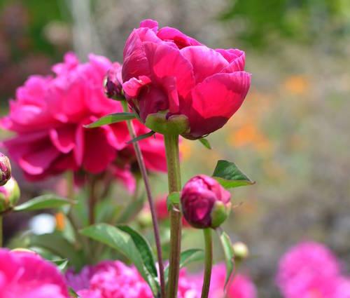 Produktbild Paeonia lactiflora 'Karl Rosenfield'