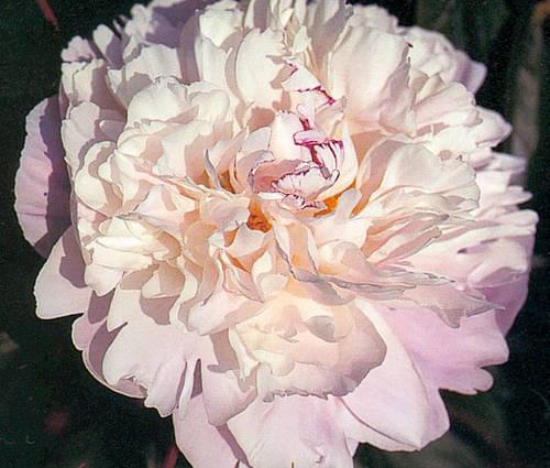 Produktbild Paeonia lactiflora 'Lady Alexandra Duff'