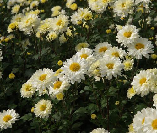 Produktbild Chrysanthemum Indicum-Hybride 'Poesie'
