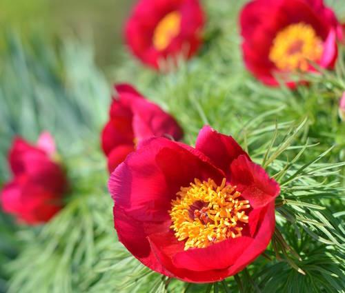 Produktbild Paeonia tenuifolia